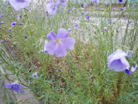 北8条通り亜麻の花
