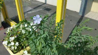『亜麻ちゃん成長日記』7月1日 祝!開花速報の画像